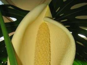 Philodendron-fruit